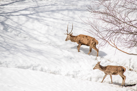 male and female deer walking in the snow in a park in northern Italy Standard-Bild