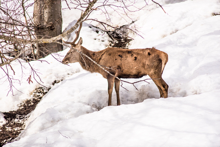 male deer in a park in northern italy on winter 版權商用圖片 - 98891881