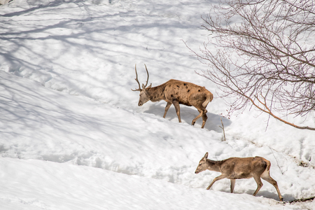 male and female deer walking in the snow in a park in northern Italy 版權商用圖片