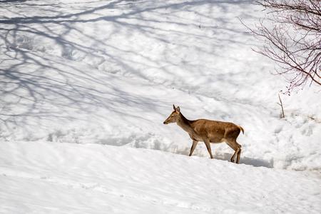 female deer walking in the snow on winter in a park