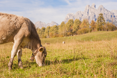 milker: a cow at the pasture,in the background Italian mountains Stock Photo