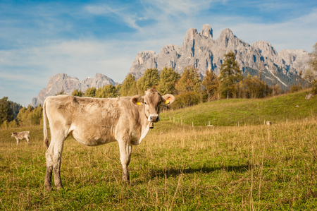 milker: a cow at the pasture looks into the camera,in the background Italian mountains