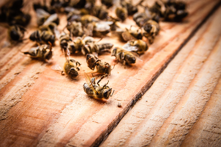 dead bees on wooden boards Stock Photo