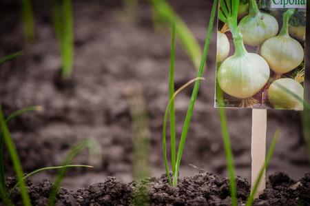 seedlings of white onion