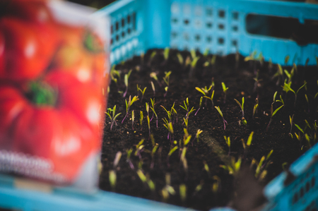 tomatoes sown in blue plastic box