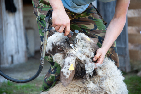 shearing wool from a ram