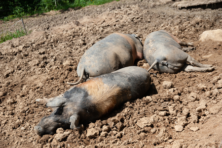 Black pigs of the Alps rest in the sun