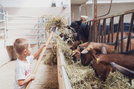 a western child takes care of the goats and feeds them with alfalfa Zdjęcie Seryjne
