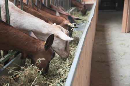 goats in the manger eat alfalfa Zdjęcie Seryjne