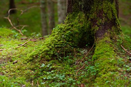 moss in the alpine forest climbing on a fir tree Zdjęcie Seryjne