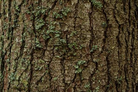 alpine firs texture