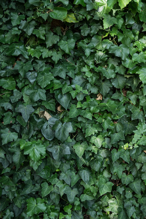 ivy wall: ivy growing on wall