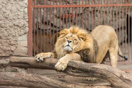 stratching: A big lion stratching in the cage