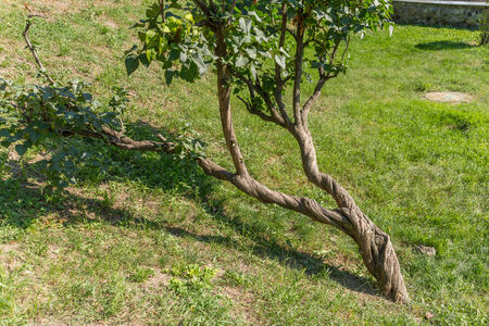adaptations: contorted tree growed in a ukrainian park Stock Photo