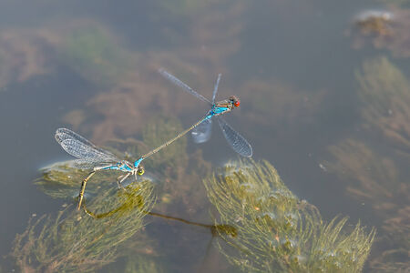 reproduction: Two Blue Dragonfly during reproduction time