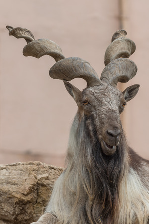 billygoat: Big billygoat guard his zone in a zoo