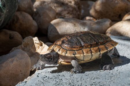 domingo: Nice sea turtle in caribbean santo domingo