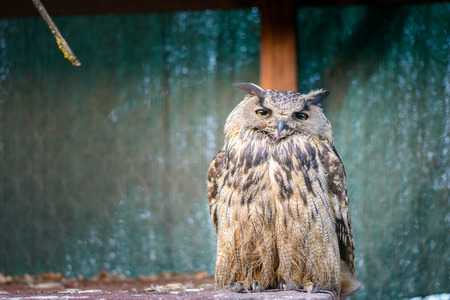 dozing: portrait of a beautiful owl dozing vigilant in a cage Stock Photo