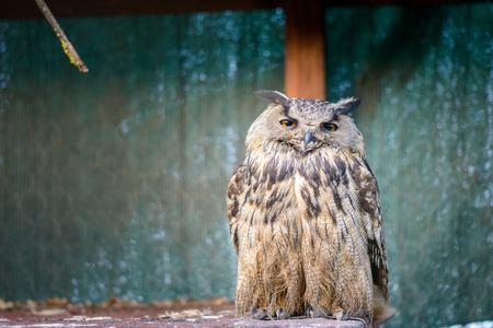 vigilant: portrait of a beautiful owl dozing vigilant in a cage Stock Photo