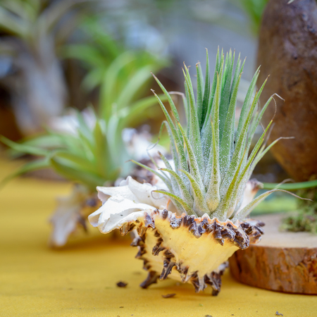 tillandsia: Nice composition of Tillandsia, species of evergreen, perennial flowering plants in the family Bromeliaceae, native to the forests, mountains and deserts of Central and South America, the southern United States and the West Indies.