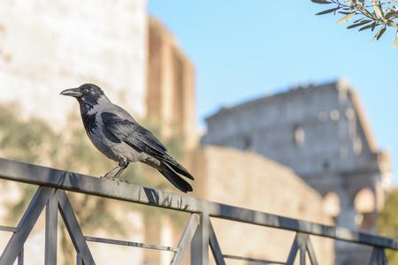 corvo imperiale: Crow nella capitale italiana Roma