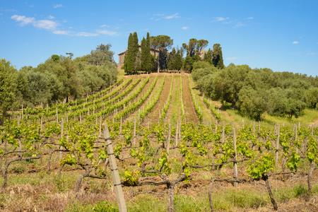 lazio: Italian Vineyard in spring in countryside of Rome Stock Photo