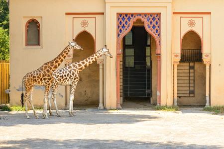 ungulate: beautiful giraffe walking along the park Stock Photo