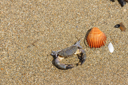 marine crustaceans: a crab and a shell on the sand in Italy