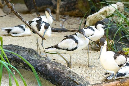 beack: Nice white bird with a long black beack Stock Photo