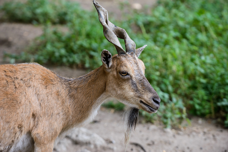 A nice brown female of billygoat