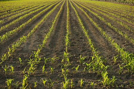 Corn plants in Spring, backlight photo