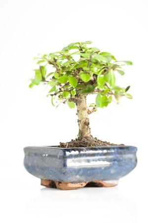 bonsai tree: Bonsai tree in ceramic pot against white, selective focus