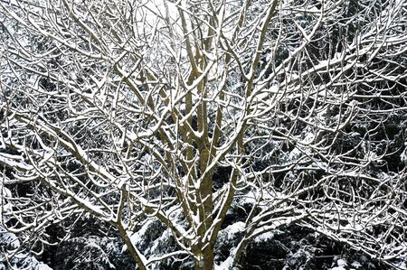 winterday: Tree covered in snow