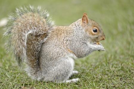 Een hongerige lieve eekhoorn is het eten van een walnoot in een park Stockfoto