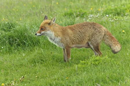 An elegant Red Fox, still breastfeeding her kits, is hungry and is looking for food
