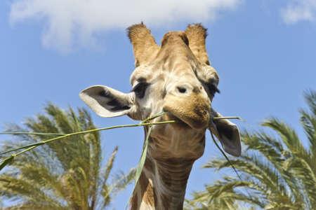 smirking: Close-Up of a smirking Giraffe