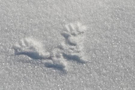 deutschemarks: Red Squirrel tracks in the snow