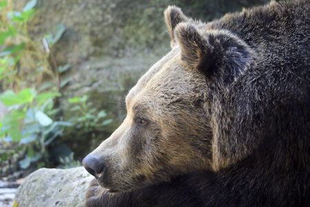 Marsican Brown Bear Resting Stock Photo