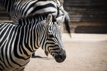 head close up: Zebra head close up profile lateral view