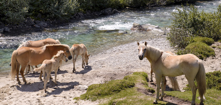 Haflinger Horses drinking water in the river photo