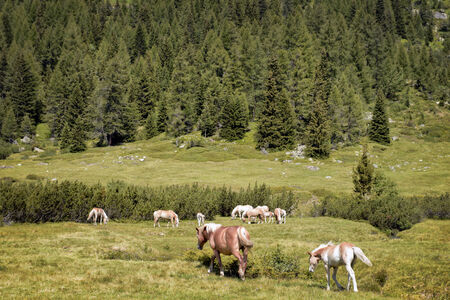 Haflinger Horses grazing in a valley photo