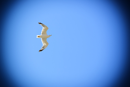 vignette: Seagull isolated flying sky vignette