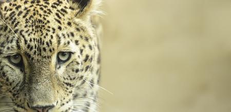 captivity: Leopard sad eyes captivity close up