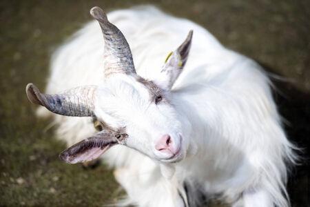gaze: White goat staring fixed gaze seated