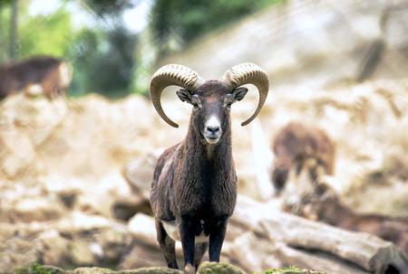 Montecristo goat portrait Italy Imagens - 34155392