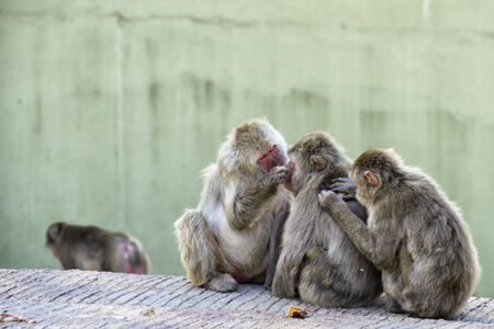 fleas: Japanese Macaques ridding of fleas Stock Photo