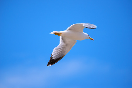 lateral view: Seagull isolated sky flying lateral view