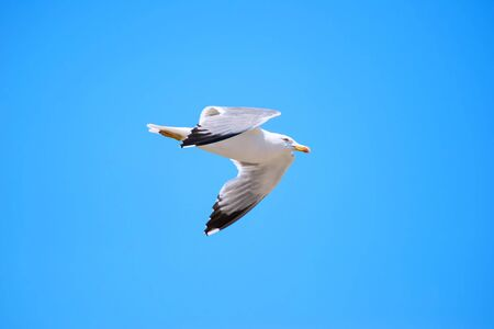 lateral: Seagull isolated sky flying lateral view