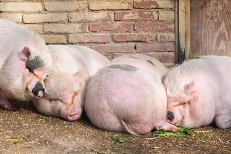 pigsty: Pigs sleeping