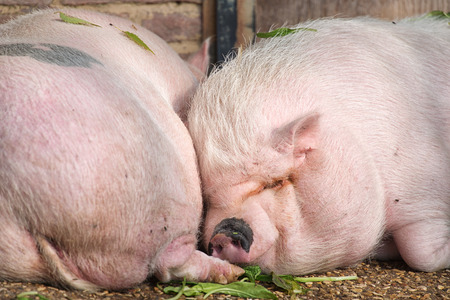 pigsty: Two pigs sleeping close up